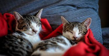 Zwei weiss-graue Katzen die in einem Bett in einer roten Decke eingekuschelt sind