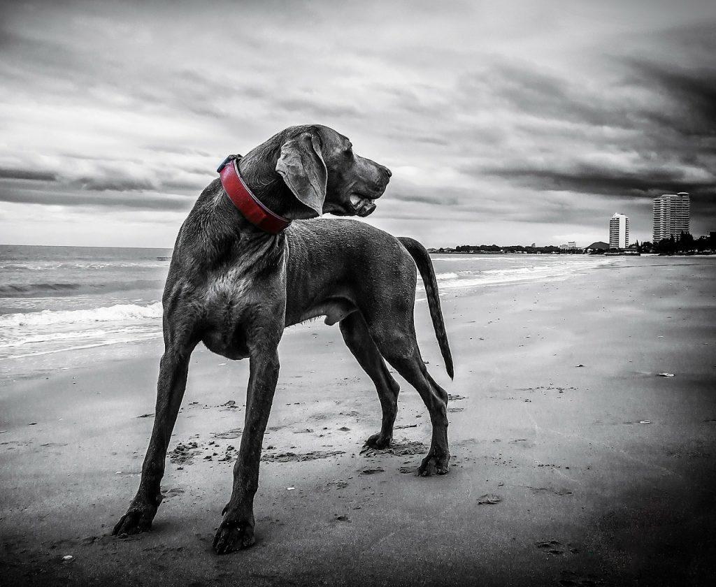 ein Weimar mit rotem Lederhalsband der am Strand steht und nach hinten sieht