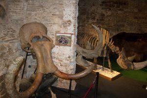 Ausstellung eines Mammutschädels und Knochen eines Wollnashorns im Museum
