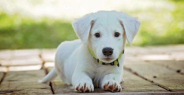 ein kleiner weißer Hundewelpe der auf dem gehsteig liegt und aufmerksam in die kamara schaut