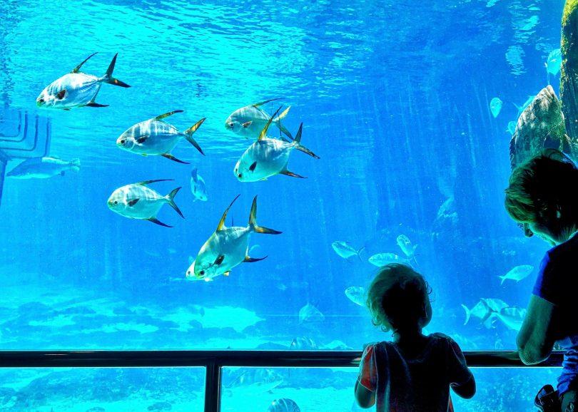 ein kleines Kind und eine Frau schauen auf ein grosses Aquarium mit Goldbrassen