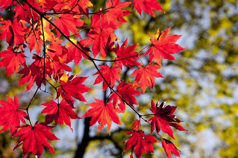 Der Ast eines Ahonrbaumes mit herbstroten Blättern