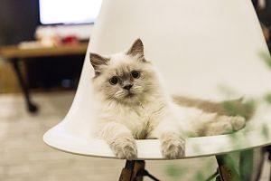 weiss-graue, kleine Siamkatze auf einem modernem weissen Plastikstuhl in einer Wohnung