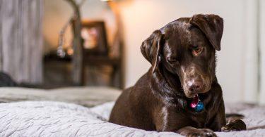 Ein Schokoladen farbiger Labrador liegt auf einem grauen Bett und schaut aufmerksam nach unten