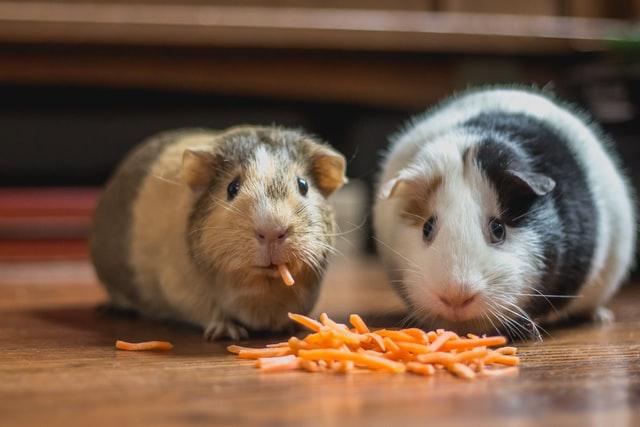 zwei Meerschweinchen die auf einem Parketboden Karotten essen