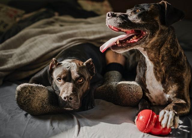 die Füße einer Person mit Wollsocken im Bett, auf seinem rechten Bein liegt ein Hund und neben seinem linken Bein sitzt ein Hund mit einem roten Gummispielzeug