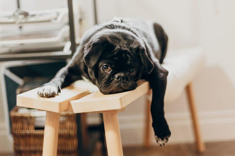 ein kleiner schwarzer Hund der auf einer Holzbank liegt und seine linke Vorderpfote baumeln lässt